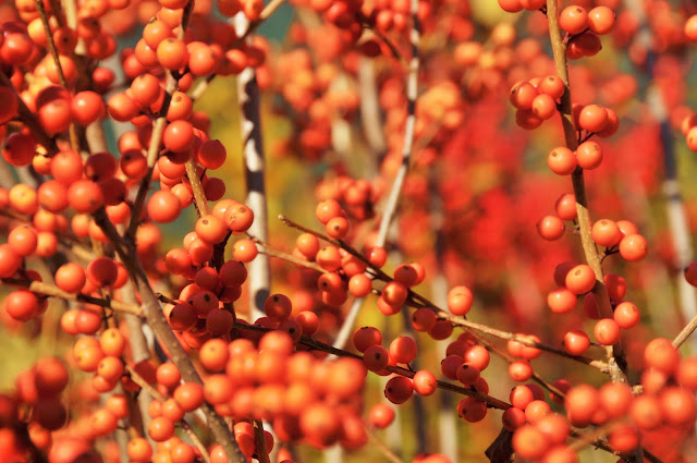 Orange Ilex Berries