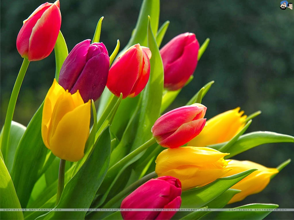 Tulip Wallpapers Keywords Here
