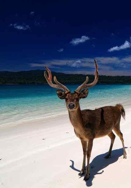 Hewan rusa Pantai Peucang