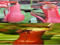 Kantong Semar (Nephentes), Tanaman Pemangsa Serangga yang Unik, Cantik dan Bermanfaat