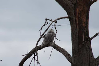 A Female Snowy Owl.