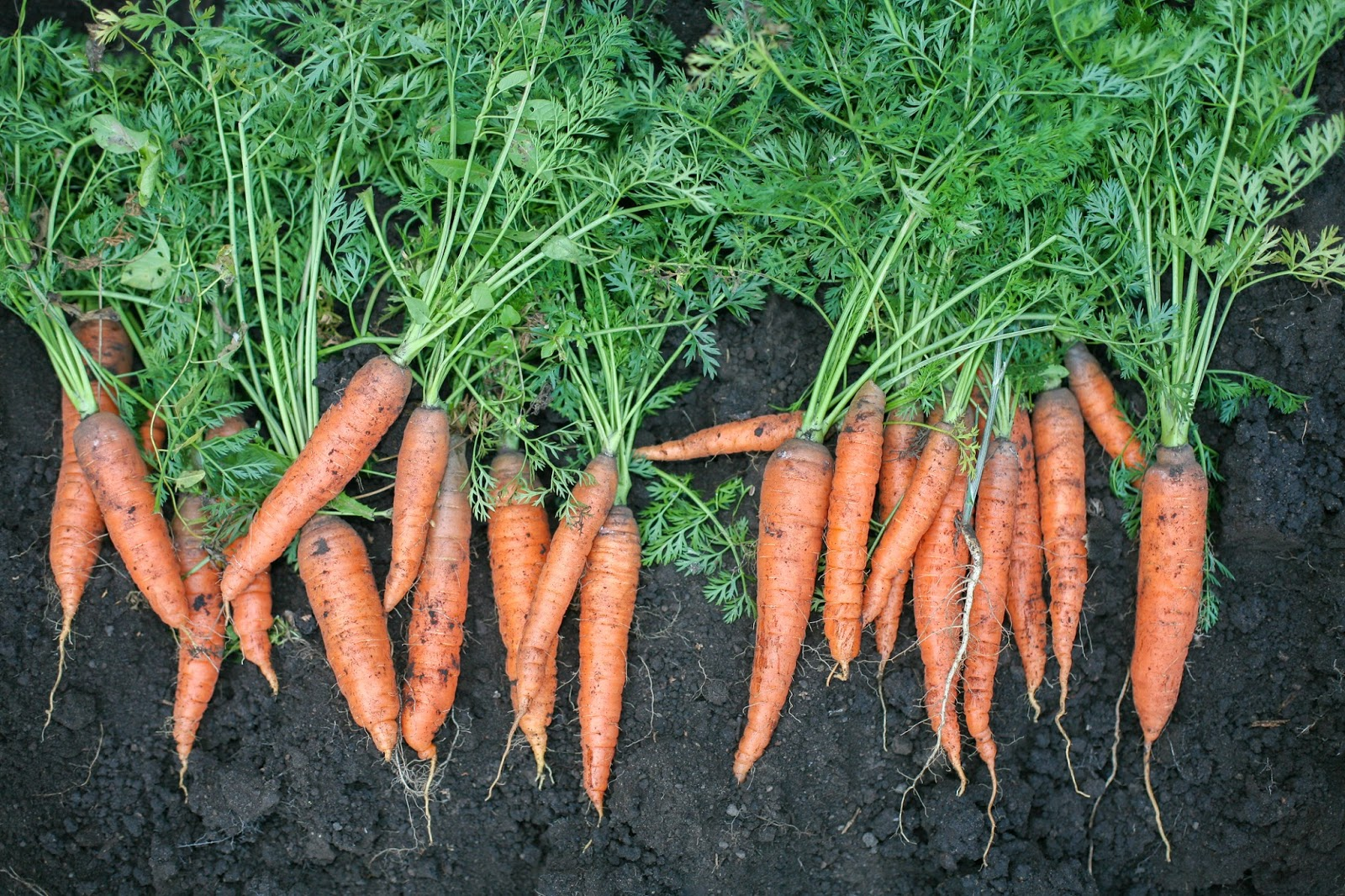 Raw Edible Plants: Carrots (Daucus carota ssp. sativus)