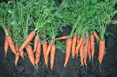 An image of freshly dug carrots with their leafy green foliage