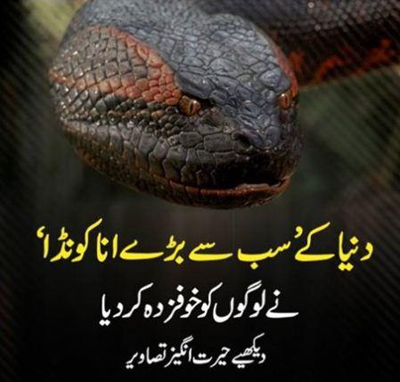 Amazing, anaconda, Biggest Anakonda ever captured from Brazilian Construction site in dead mode, world, animal, tavel,