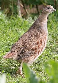 Tips Agar Suara Burung Puyuh Bunyi Gacor di Lomba
