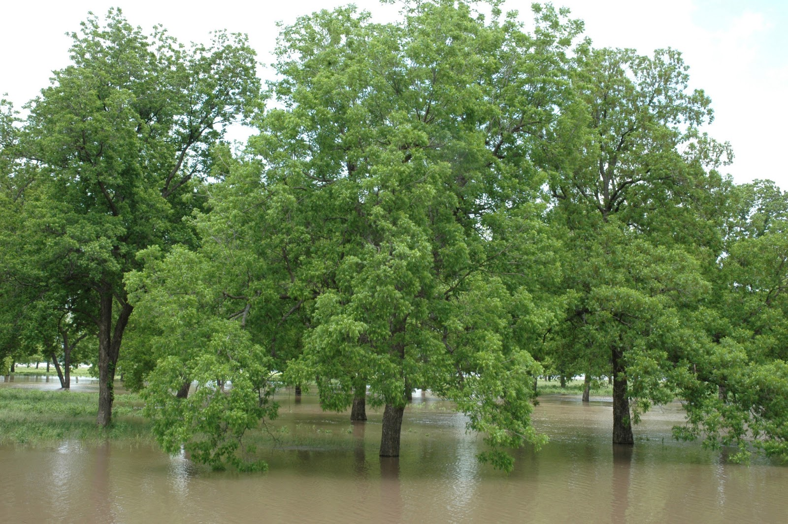 Northern Pecans: Just Another Spring Flood