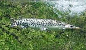 Spotted gar (Lepisosteus oculatus) dan ikan aligator terbesar