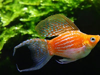 Tips Melakukan Budidaya Ikan Balon Molly