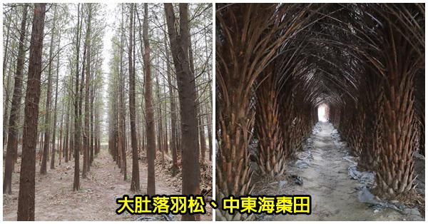 台中大肚|大肚中東海棗田|落羽松森林|壯觀挺拔又整齊像隧道|漂亮好拍