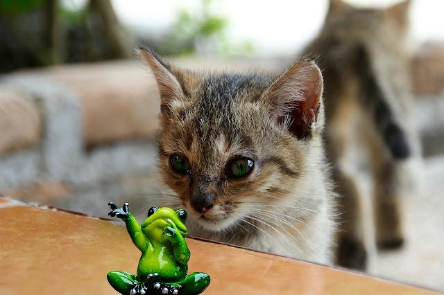 Cat Staring at a Frog