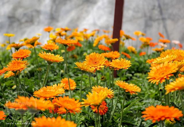 Bunga Kekwa atau Gerbera