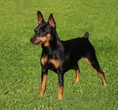 Black Miniature Pinscher dog in grass