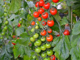 cara-menanam-tomat-cherry.jpg