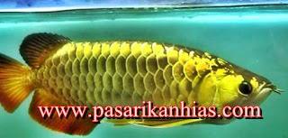 Harga Ikan Arwana Golden Pino Dewasa