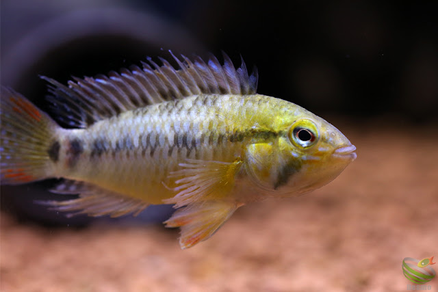 Apistogramma sp.Tame from Rio tame, 2016