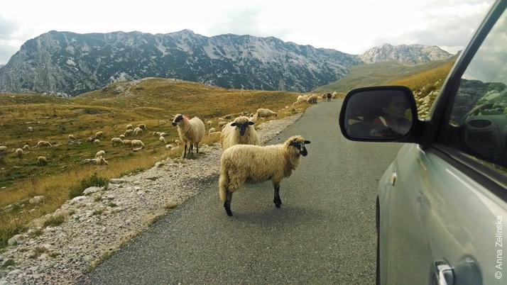 Овечки в Дурмиторе, Черногория