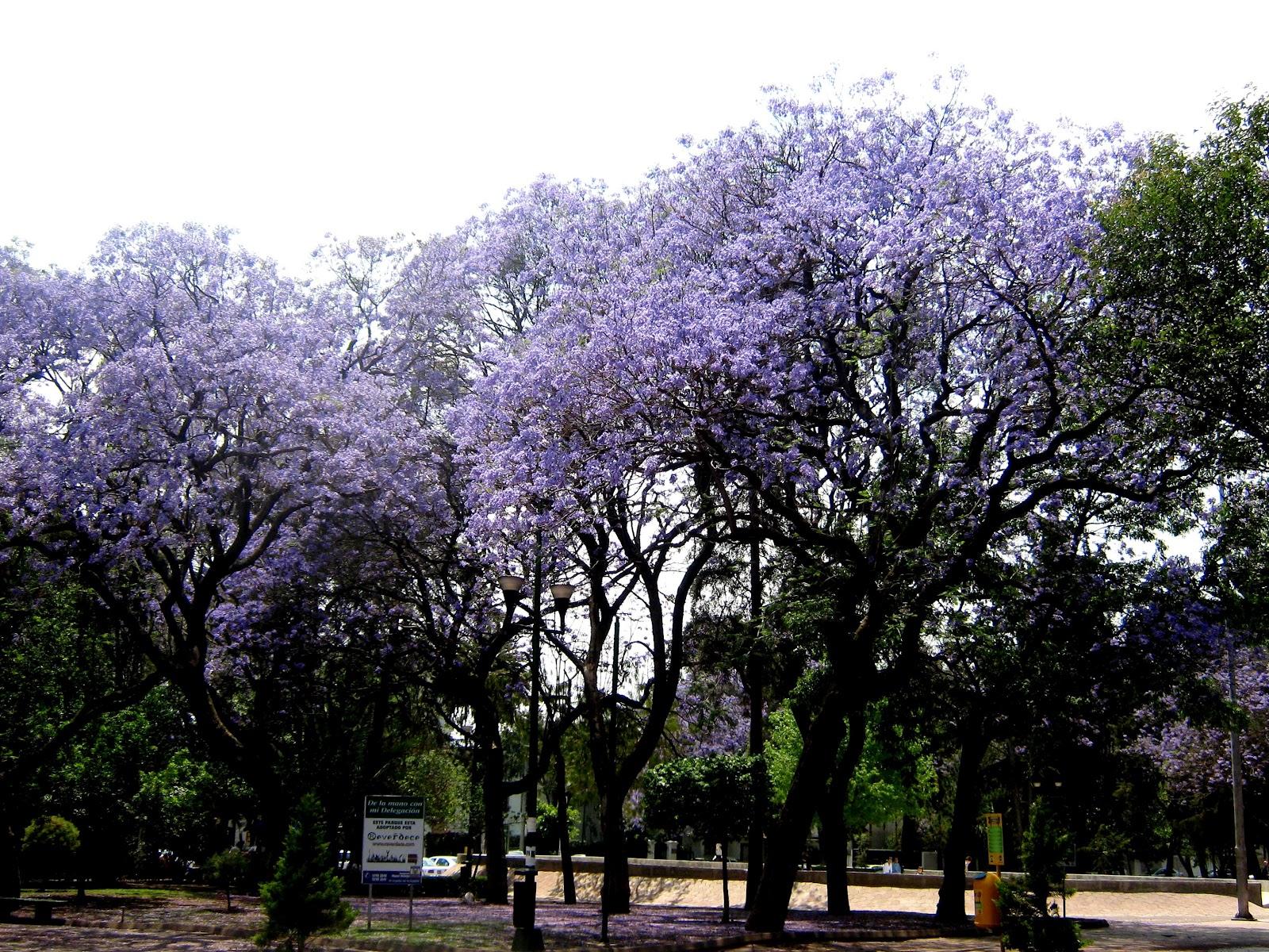 Flores Y Arboles Jacaranda
