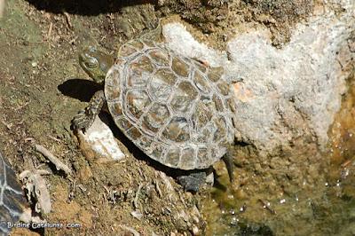 Tortuga de rierol (Mauremys leprosa)