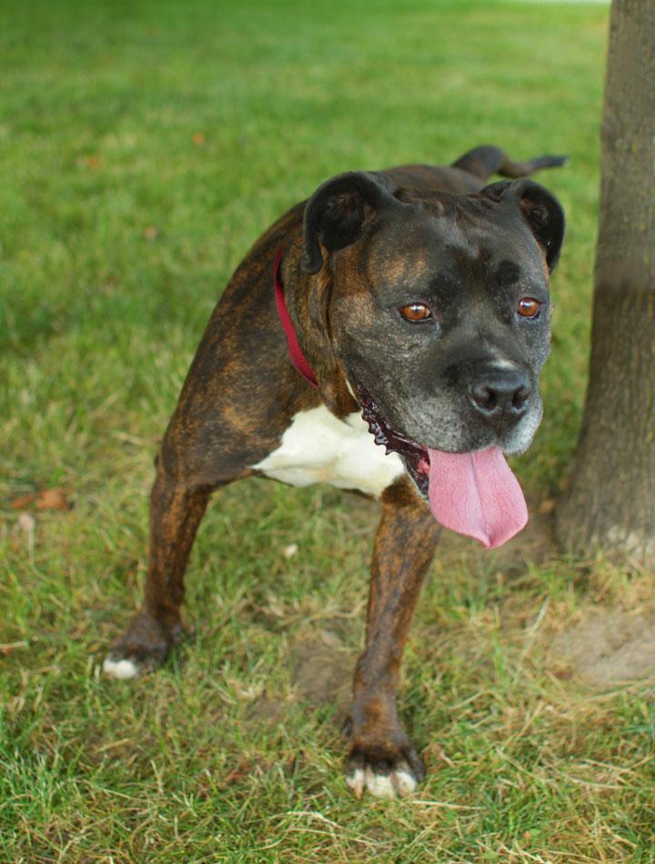 Mr. Big - American Bulldog Boxer cross