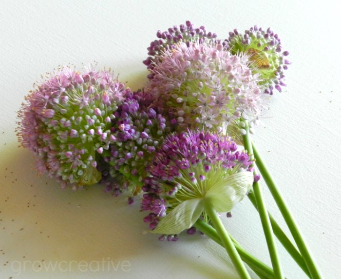 purple allium blossoms