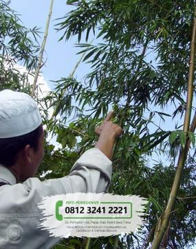 Jual Bibit Pohon Bambu Apus