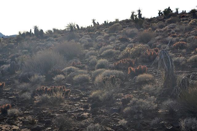 sloped cactus garden