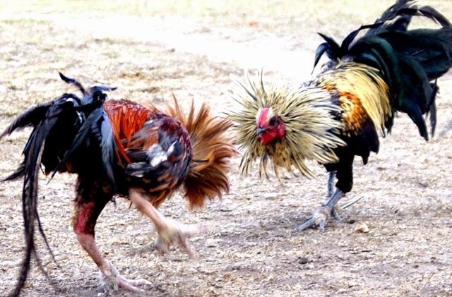 Biasanya setiap pertandingan sabung ayam Cara Perawatan terbaik Untuk Ayam Bangkok Petarung / Aduan