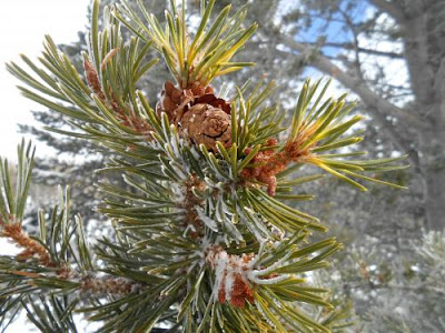 natural awakening, spiritual awakening, pine tree, pinecone