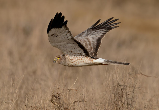 Genomics reveals hen harrier is two distinct species