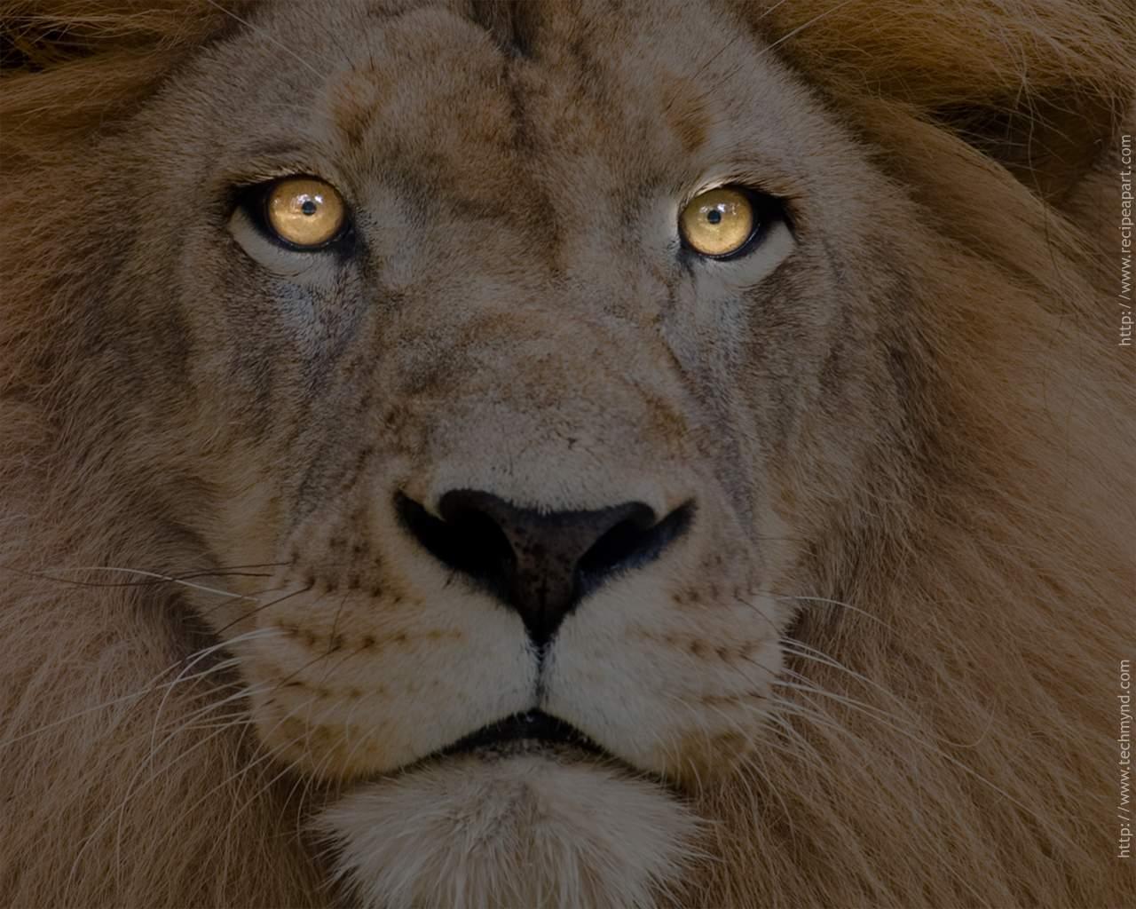 Sports amazing lion wallpapers - Lion wallpaper ...