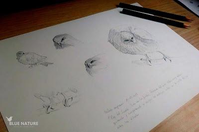 Estudio de milano negro (Milvus migrans). Lápiz sobre papel