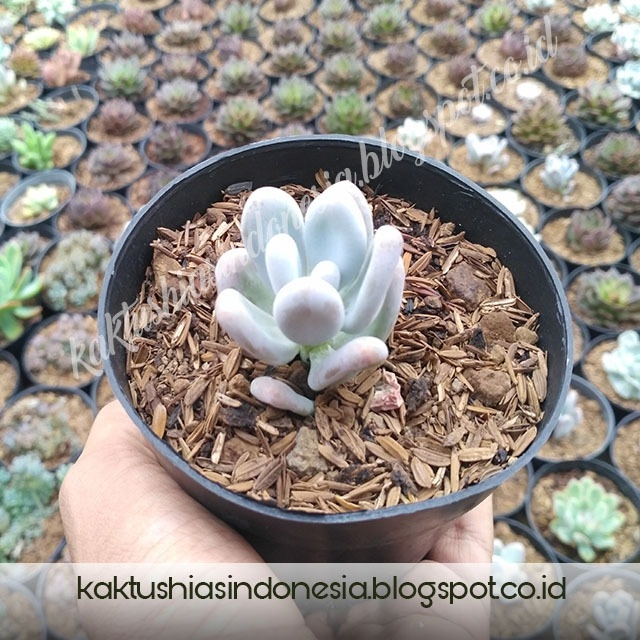 Jual Kaktus Endok Endokan I Hubungi 0853 1420 3006 Kaktus