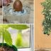 Cómo hacer crecer su propio árbol de aguacate (palta) en un jardín pequeño.