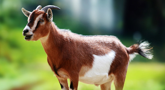 Goat Images Photos And Funny Pictures Download