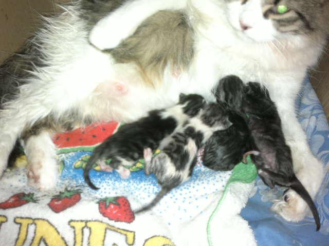 gata-amamantando-a-sus-gatitos-minutos-despues-del-parto
