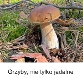 prawdziwek, grzybobranie, las, grzyby, ściółka