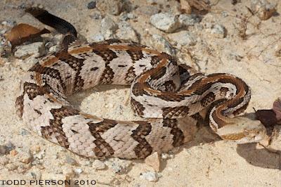rattlesnakes world