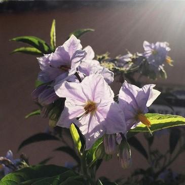 Contraluz mañanero, Solanum
