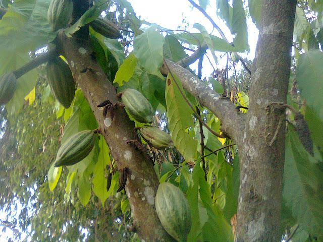 Pohon Kakao Berkualitas Tinggi, Buahnya Lebat