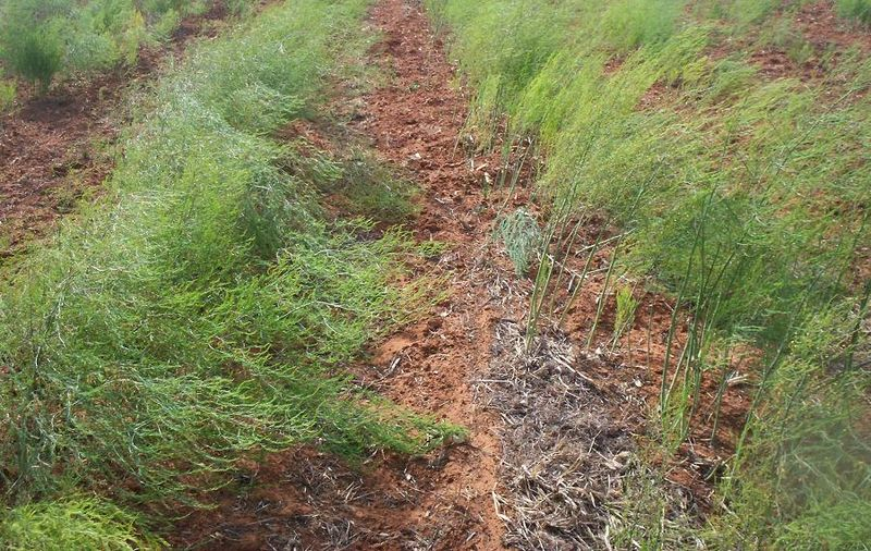 How to prepare and make an asparagus bed the garden of eaden for Preparation of soil wikipedia