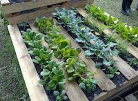 palets de madera reutilizados para plantar lechuga y espinaca