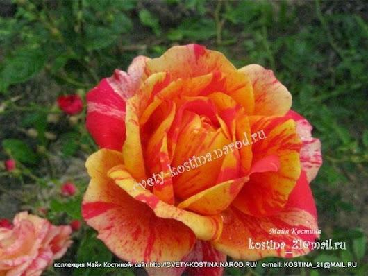Розы майи костиной каталог