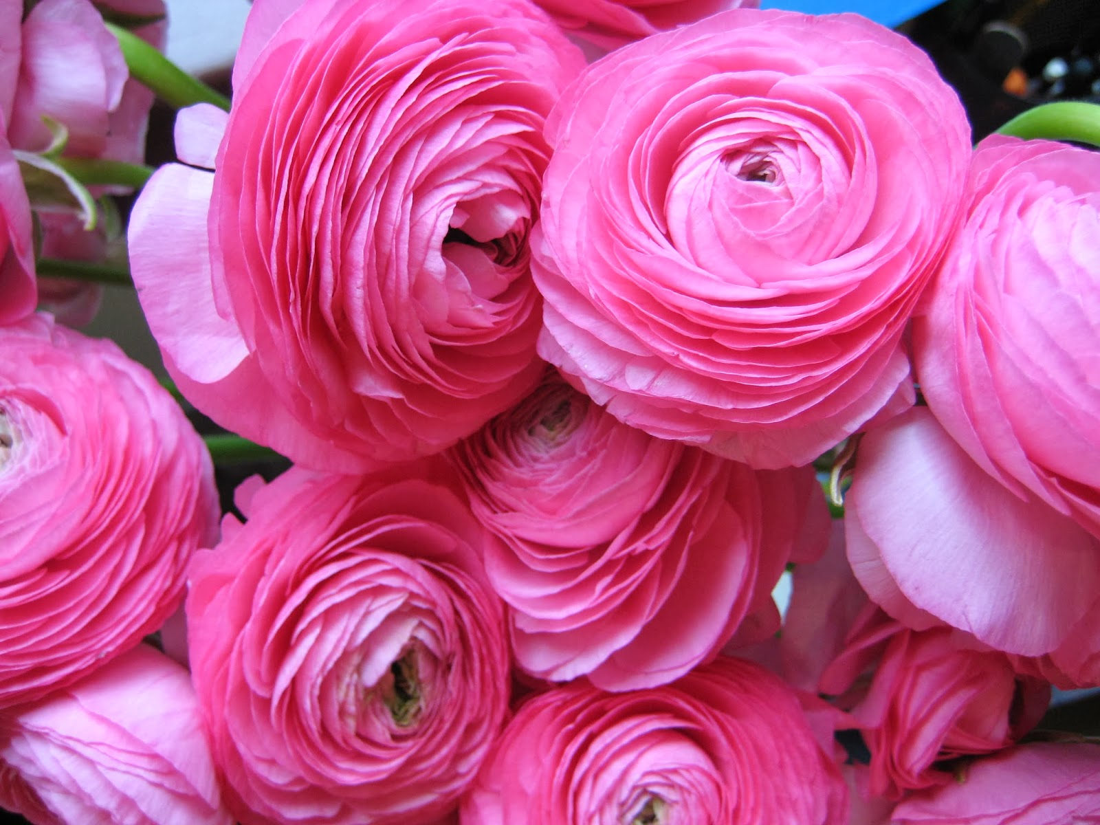 Romantic Flowers: Ranunculus flowers