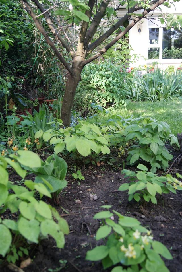 Quitte unterpflanzt mit Schwarzmeer-Elfenblume, Geranium nodosum