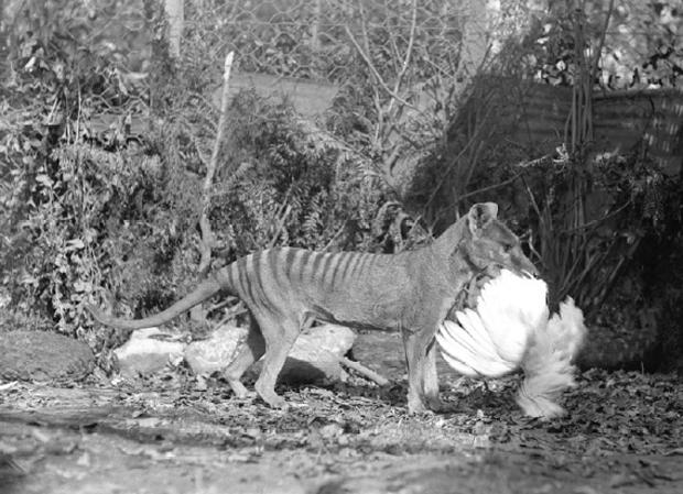 Puparazzi: Thylacine - Get Up and Go Dog Australia