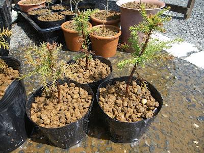 杉のミニ盆栽