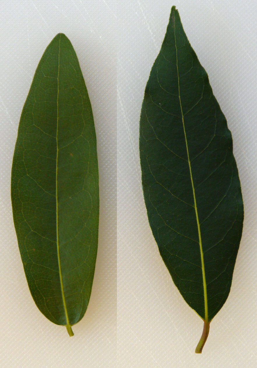 The Uncarved Block: Comparing Bay Leaves