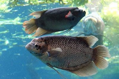 Budidaya Ikan Gurame yang Menguntungkan - Cara Budidaya Ikan Gurame