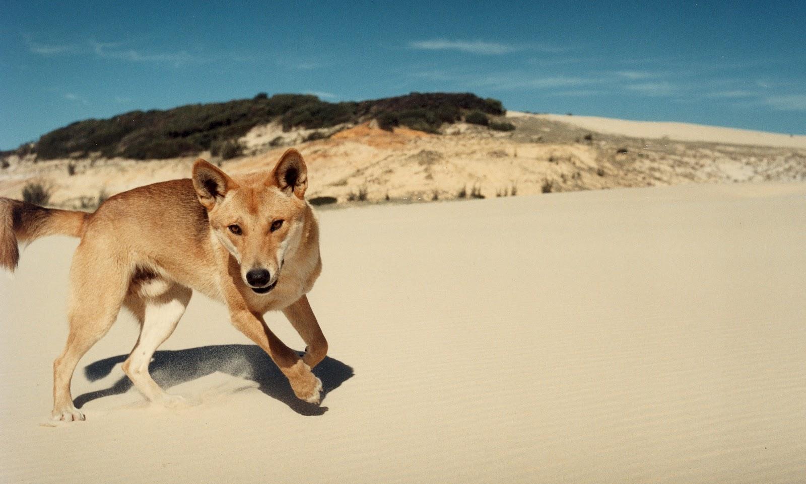 Wild Dogs Australia Skull