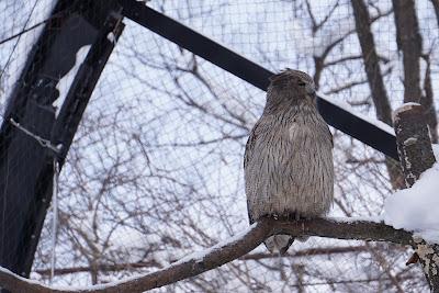 旭山動物園のシマフクロウ